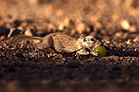 /images/133/2014-06-14-tucson-g-squirr-5d3_1209.jpg - #11920: Round Tailed Ground Squirrels in Tucson … June 2014 -- Tucson, Arizona