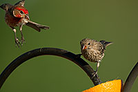 /images/133/2014-06-15-tucson-birds-5d3_1363.jpg - #11934: Male (left) and female House Finches in Tucson … June 2014 -- Tucson, Arizona