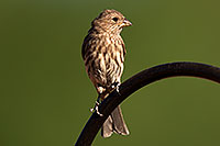 /images/133/2014-06-15-tucson-birds-5d3_1382.jpg - #11936: Female House Finch in Tucson … June 2014 -- Tucson, Arizona