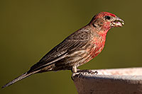 /images/133/2014-06-15-tucson-birds-5d3_1507.jpg - #11937: Male House Finch in Tucson … June 2014 -- Tucson, Arizona