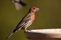 /images/133/2014-06-15-tucson-birds-5d3_1512.jpg - #11938: Male House Finch in Tucson … June 2014 -- Tucson, Arizona