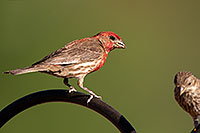 /images/133/2014-06-15-tucson-birds-5d3_1528.jpg - #11939: Male House Finch in Tucson … June 2014 -- Tucson, Arizona