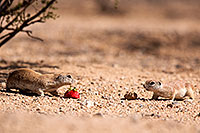 /images/133/2014-06-15-tucson-g-squirr-5d3_2320.jpg - #11941: Round Tailed Ground Squirrels in Tucson … June 2014 -- Tucson, Arizona