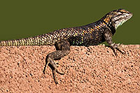 /images/133/2014-06-21-tucson-lizard-1dx_0132.jpg - #11964: Male Desert Spiny Lizard in Tucson … June 2014 -- Tucson, Arizona