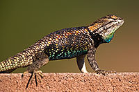 /images/133/2014-06-21-tucson-lizard-1dx_0272.jpg - 11971: Male Desert Spiny Lizard in Tucson … June 2014 -- Tucson, Arizona