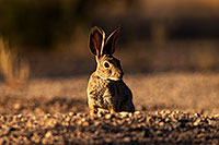 /images/133/2014-06-22-tucson-bunny-1dx_2696.jpg - #11971: Desert Cottontail in Tucson … June 2014 -- Tucson, Arizona