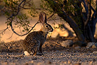 /images/133/2014-06-22-tucson-bunny-1dx_3160.jpg - #11981: Desert Cottontail in Tucson … June 2014 -- Tucson, Arizona