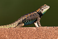 /images/133/2014-06-22-tucson-lizard-1dx_1429.jpg - #11982: Male Desert Spiny Lizard in Tucson … June 2014 -- Tucson, Arizona