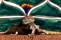 /images/133/2014-06-22-tucson-lizard-1dx_1521.jpg - #11986: Male Desert Spiny Lizard in Tucson … June 2014 -- Tucson, Arizona