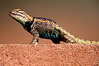 /images/133/2014-06-23-tucson-lizard-1dx_3410.jpg - #12004: Male Desert Spiny Lizard in Tucson … June 2014 -- Tucson, Arizona