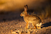 /images/133/2014-06-29-tucson-bunny-1dx_6274.jpg - #12010: Desert Cottontail in Tucson … June 2014 -- Tucson, Arizona