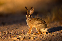 /images/133/2014-06-29-tucson-bunny-1dx_6288.jpg - #12016: Desert Cottontail in Tucson … June 2014 -- Tucson, Arizona