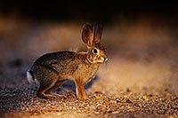 /images/133/2014-06-29-tucson-bunny-1dx_6308.jpg - #12011: Desert Cottontail in Tucson … June 2014 -- Tucson, Arizona
