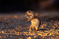 /images/133/2014-06-29-tucson-squirrels-1dx_6421.jpg - Animals > Round Tailed Ground Squirrels