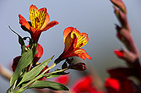 /images/133/2014-07-13-tucson-flowers-1dx_1283.jpg - #12058: Alstroemerias flowers in Tucson … July 2014 -- Tucson, Arizona