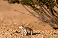 /images/133/2014-07-19-tucson-creatures-1dx_2494.jpg - #12067: Round Tailed Ground Squirrels in Tucson … July 2014 -- Tucson, Arizona