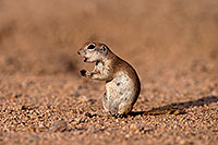 /images/133/2014-07-19-tucson-creatures-1dx_2510.jpg - #12068: Round Tailed Ground Squirrels in Tucson … July 2014 -- Tucson, Arizona