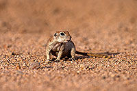 /images/133/2014-07-19-tucson-creatures-1dx_2514.jpg - #12069: Round Tailed Ground Squirrels in Tucson … July 2014 -- Tucson, Arizona