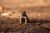 /images/133/2014-07-19-tucson-creatures-1dx_2530.jpg - #12072: Round Tailed Ground Squirrels in Tucson … July 2014 -- Tucson, Arizona