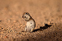 /images/133/2014-07-19-tucson-creatures-1dx_2594.jpg - #12074: Round Tailed Ground Squirrels in Tucson … July 2014 -- Tucson, Arizona