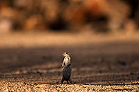 /images/133/2014-07-19-tucson-creatures-1dx_2665.jpg - #12076: Round Tailed Ground Squirrels in Tucson … July 2014 -- Tucson, Arizona