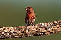 /images/133/2014-07-20-tucson-birds-1dx_2755.jpg - #12078: Male House Finch in Tucson … July 2014 -- Tucson, Arizona
