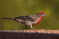 /images/133/2014-07-20-tucson-birds-1dx_2809.jpg - #12081: Male House Finch in Tucson … July 2014 -- Tucson, Arizona