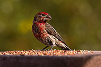 /images/133/2014-07-20-tucson-birds-1dx_2826.jpg - #12082: Male House Finch in Tucson … July 2014 -- Tucson, Arizona