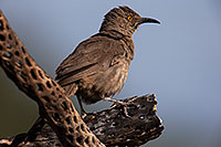 /images/133/2014-07-20-tucson-birds-1dx_2947.jpg - #12078: Curved Bill Thrasher in Tucson … July 2014 -- Tucson, Arizona