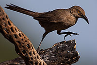 /images/133/2014-07-20-tucson-birds-1dx_2958.jpg - #12079: Curved Bill Thrasher in Tucson … July 2014 -- Tucson, Arizona