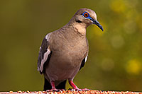 /images/133/2014-07-20-tucson-birds-1dx_3010.jpg - #12080: White Winged Dove in Tucson … July 2014 -- Tucson, Arizona