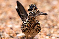 /images/133/2014-07-20-tucson-birds-1dx_3664.jpg - #12082: Desert Roadrunner in Tucson … July 2014 -- Tucson, Arizona
