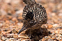/images/133/2014-07-20-tucson-birds-1dx_3668.jpg - #12083: Desert Roadrunner in Tucson … July 2014 -- Tucson, Arizona