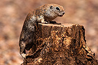 /images/133/2014-07-20-tucson-creatures-1dx_3096.jpg - #12091: Round Tailed Ground Squirrels in Tucson … July 2014 -- Tucson, Arizona