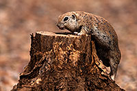 /images/133/2014-07-20-tucson-creatures-1dx_3145.jpg - #12092: Round Tailed Ground Squirrels in Tucson … July 2014 -- Tucson, Arizona