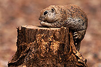 /images/133/2014-07-20-tucson-creatures-1dx_3157.jpg - #12093: Round Tailed Ground Squirrels in Tucson … July 2014 -- Tucson, Arizona