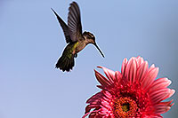 /images/133/2014-07-20-tucson-humming-1dx_2986.jpg - #12092: Annas Hummingbird and Gerbera Daisy in Tucson … July 2014 -- Tucson, Arizona