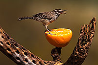 /images/133/2014-07-21-tucson-birds-1dx_3945.jpg - #12096: Cactus Wren in Tucson … July 2014 -- Tucson, Arizona