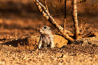 /images/133/2014-07-27-tucson-creatures-1dx_5250.jpg - #12099: Round Tailed Ground Squirrels in Tucson … July 2014 -- Tucson, Arizona