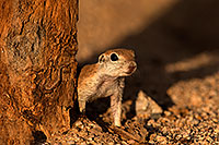 /images/133/2014-07-27-tucson-creatures-1dx_5529.jpg - #12104: Round Tailed Ground Squirrels in Tucson … July 2014 -- Tucson, Arizona