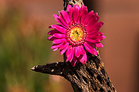 /images/133/2014-07-28-tucson-flowers-1dx_5612.jpg - #12107: Gerbera Daisy in Tucson … July 2014 -- Tucson, Arizona