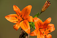/images/133/2014-07-28-tucson-flowers-1dx_5619.jpg - #12109: Orange Lilies in Tucson … July 2014 -- Tucson, Arizona