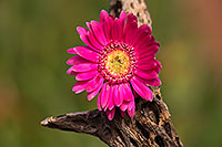 /images/133/2014-07-28-tucson-flowers-1dx_5663.jpg - #12111: Gerbera Daisy flower in Tucson … July 2014 -- Tucson, Arizona