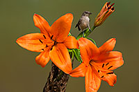 /images/133/2014-07-28-tucson-verdins-1dx_5677.jpg - #12117: Young Verdin on Orange Lilies in Tucson … July 2014 -- Tucson, Arizona