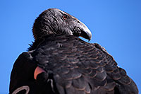 /images/133/2014-08-17-gc-condor-1dx_6488.jpg - #12149: California Condor in Grand Canyon … August 2014 -- Grand Canyon, Arizona