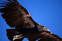 /images/133/2014-08-17-gc-condor-1dx_6948.jpg - #12153: California Condor in Grand Canyon … August 2014 -- Grand Canyon, Arizona