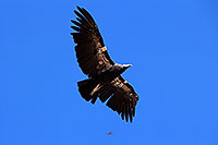 /images/133/2014-08-17-gc-condor-1dx_7156.jpg - #12156: California Condor in Grand Canyon … August 2014 -- Grand Canyon, Arizona