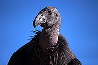 /images/133/2014-08-17-gc-condor-35-1dx_6415.jpg - #12157: California Condor in Grand Canyon … August 2014 -- Grand Canyon, Arizona