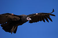 /images/133/2014-08-17-gc-condor-6540-1dx_6889.jpg - #12158: California Condor in Grand Canyon … August 2014 -- Grand Canyon, Arizona