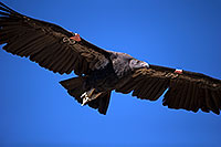 /images/133/2014-08-17-gc-condor-6540-1dx_6944.jpg - #12159: California Condor in Grand Canyon … August 2014 -- Grand Canyon, Arizona